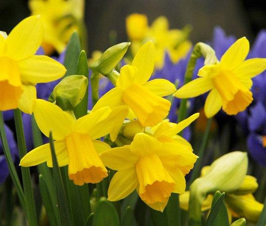 Narcissi-minnow-dwarf daffodils