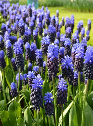 Muscari-grape hyacinths bulbs