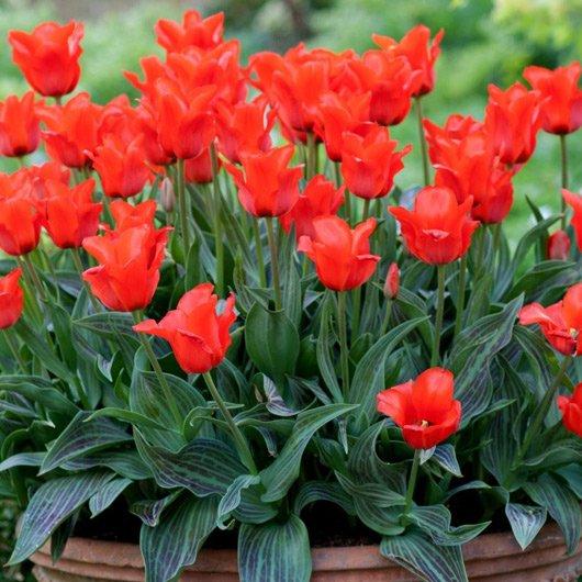 Red Riding Hood dwarf tulips